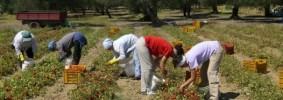thumbnail_526_truffa-agricola